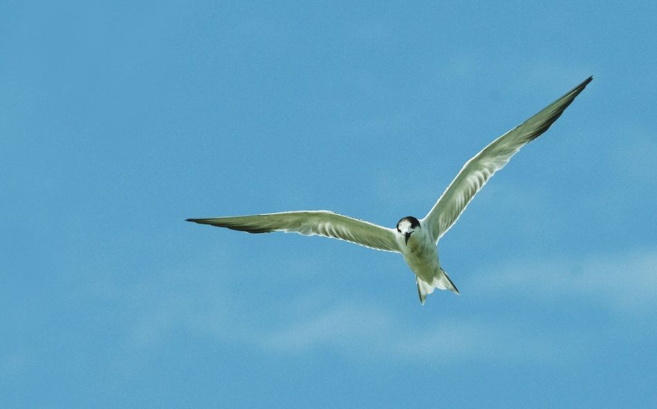 Seagull on the blue sky Seagull Seagulls In Flight Blue Sky Animal Birding Flying Bird Spread Wings Animal Wildlife Animals In The Wild One Animal Blue Animal Themes Sky Nature No People