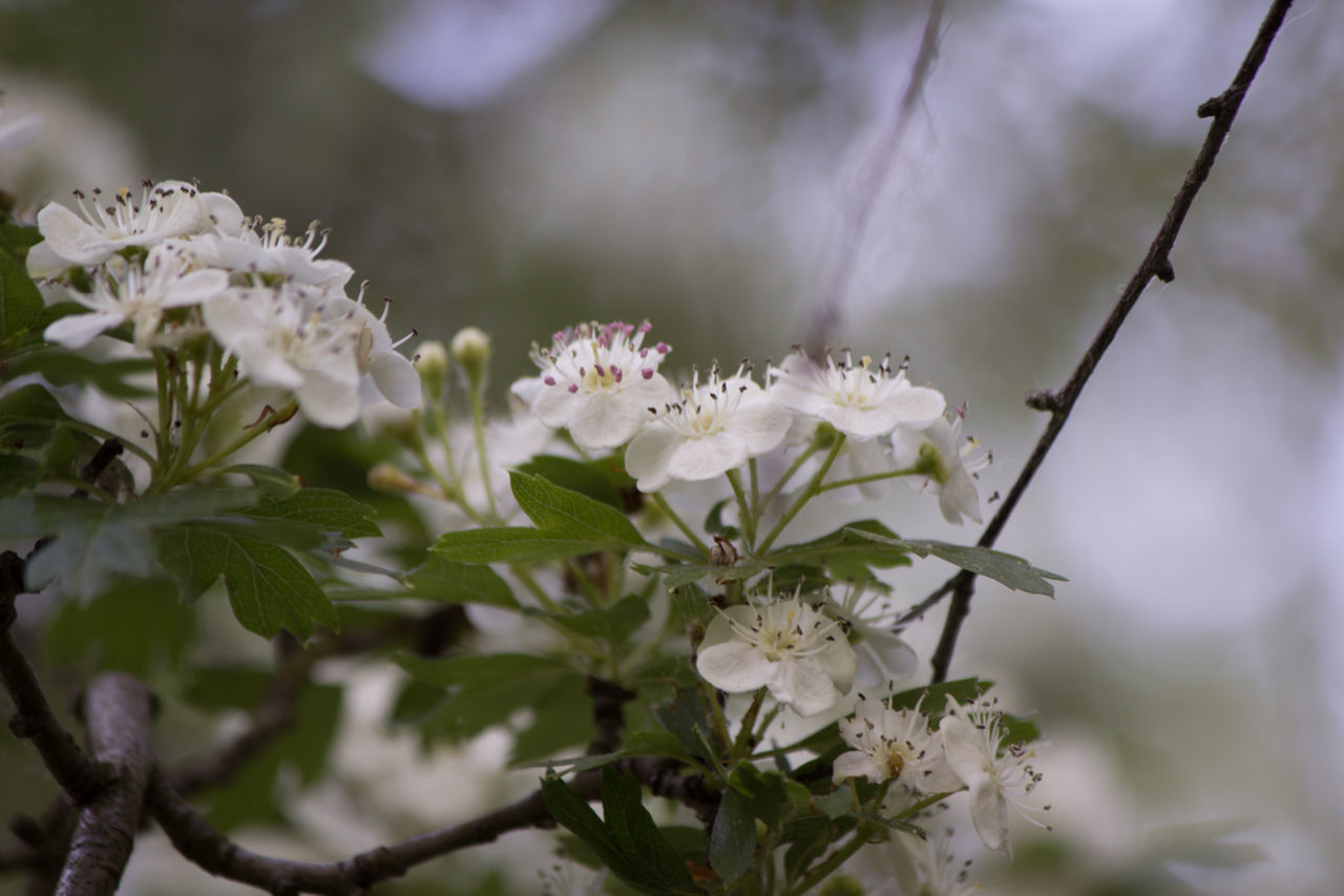 flower, white color, fragility, nature, beauty in nature, petal, botany, growth, freshness, blossom, plant, no people, day, flower head, outdoors, close-up, leaf, branch, blooming, tree, animal themes