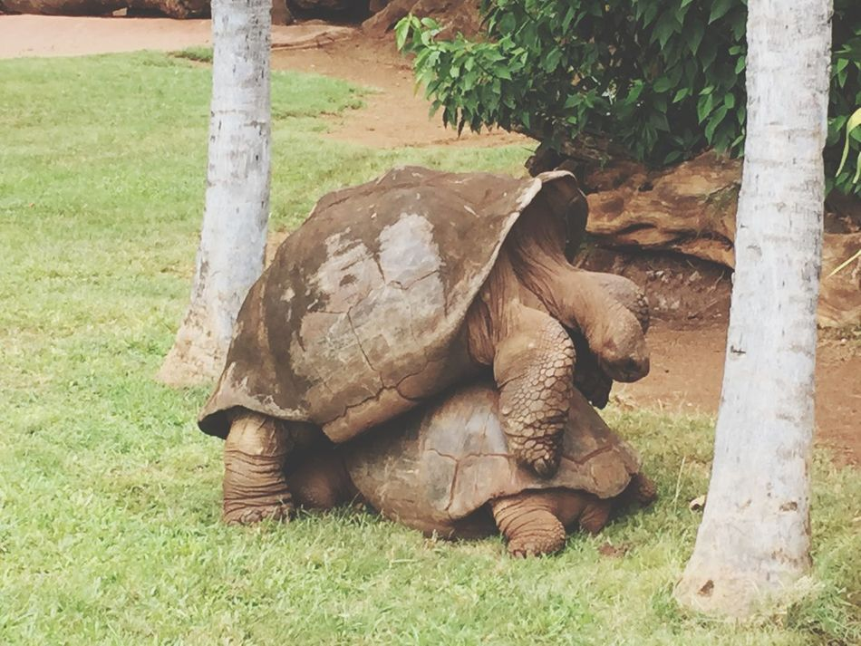 Things got a little crazy at the zoo! Animalporn Tortoise TurtleLove Oahu, Hawaii