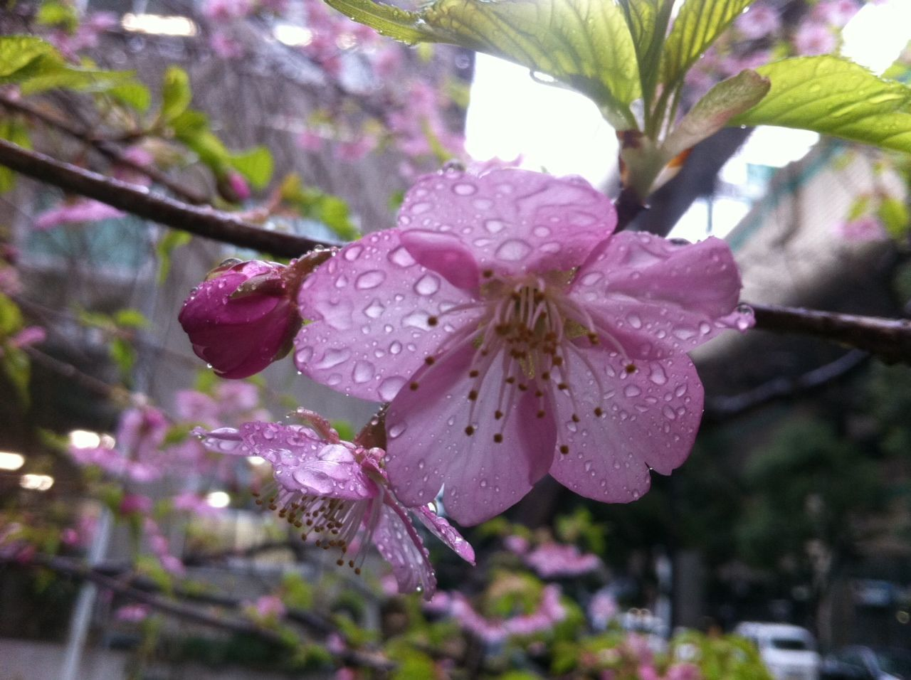Close-Up Of Raindrops On Pink Cherry Blossoms Outdoors