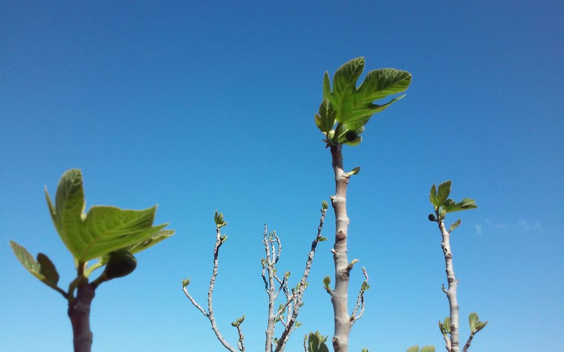 Clear Day Blue Sky Tree Fruit Fig Tree Fig First Leaves