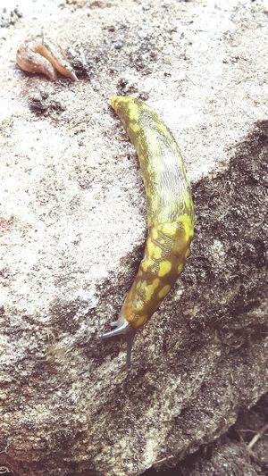 Slug on the move. Sluggin Along... Sluglife EyeEm Best Shots Slugs Love Eyeem EyeEm Gallery Is It Sluggish Hello Slug World. A Famous Slug Slugs Rule.