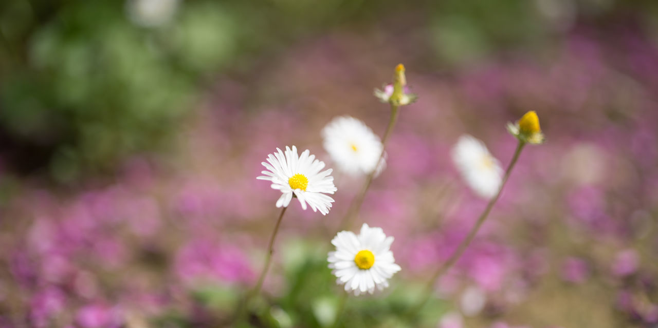 Daisies and Fallen Purple Petals Beauty In Nature Blooming Close-up Daisy Daisy Flower Day Fallen Petals Flower Flower Head Focus On Foreground Fragility Freshness Growth Istanbul Istanbul Turkey Nature Nature On Your Doorstep Nature Photography Nature_collection No People Outdoors Panoramic Petal