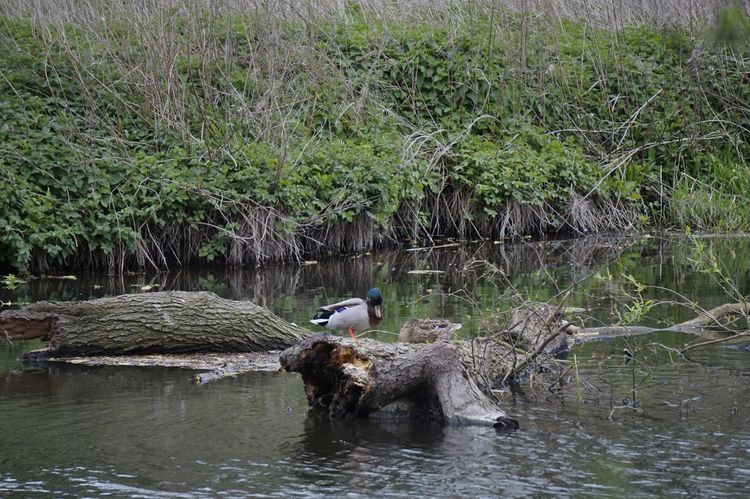 2120 Animal Themes Animal Wildlife Animals In The Wild Bird Bushes Day Duck Fallen Tree Grass Lake Nature No People One Animal Outdoors Reflection Reflection_collection Riverbank Riverside Tree Water Water Bird Water Reflections Water_collection Waterfront