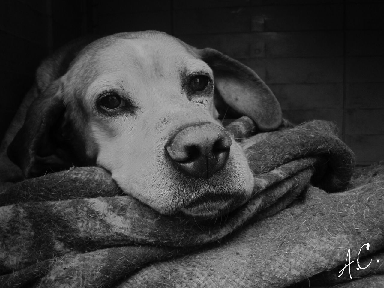 dog, domestic animals, animal themes, pets, one animal, mammal, looking at camera, relaxation, no people, portrait, close-up, indoors, day