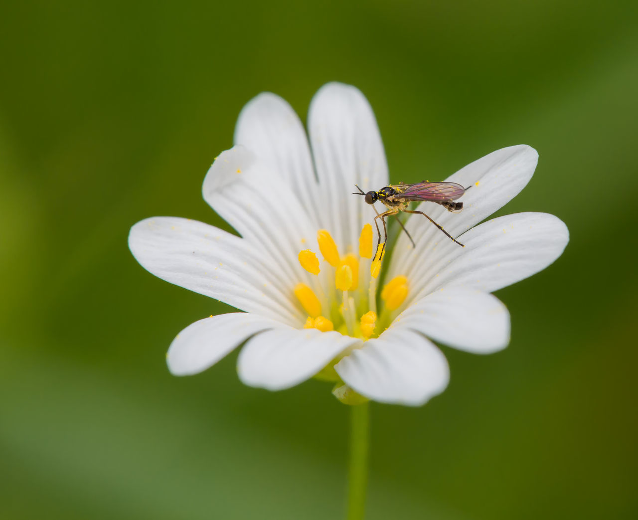 Small fly on Flower Animal Themes Animal Wildlife Animals In The Wild Beauty In Nature Bee Blooming Close-up Day Flower Flower Head Fragility Freshness Growth Insect Nature No People One Animal Outdoors Petal Plant Pollen Pollination White Color