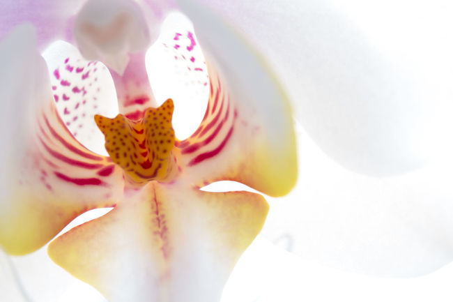 An orchid! A jaguars head? Close-up Detail Elégance Flower Flower Head Fragility Freshness Macro Macro Photography Macro_collection Macro_flower Orchid Petal Selective Focus Single Flower Softness Stamen White White Color
