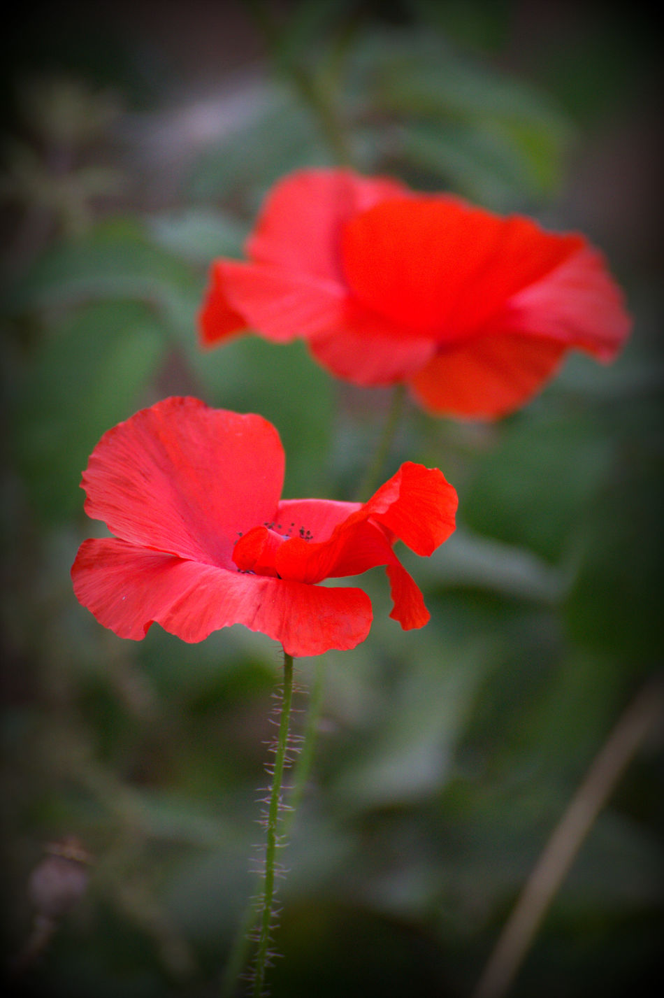 Flower Head Flower Flowers,Plants & Garden Beauty In Nature Nature Photography Nature Red Beautiful Close-up Poppyheads Poppy Flowers Poppy Red Flowers Green Color Green