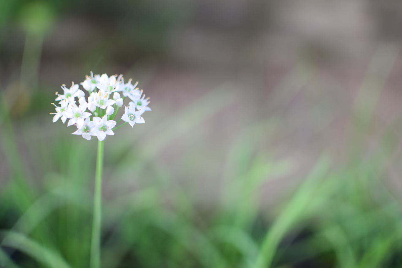 Chives flower. Flower Nature Plant Growth Freshness Fragility Outdoors Beauty In Nature Close-up Botany Chiveflower EyeEmNewHere White Flower EyeEm Nature Lover Pure Minimalist