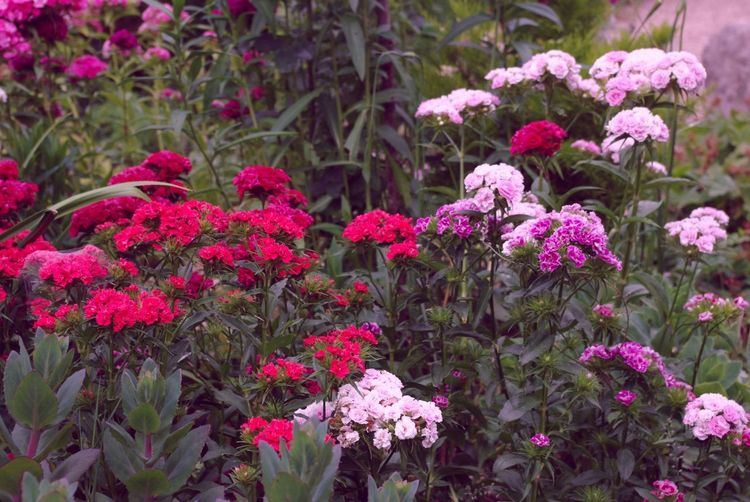 Summer Flowers Sweet William Color Explosion Here Comes The Sun Thinking About The Future