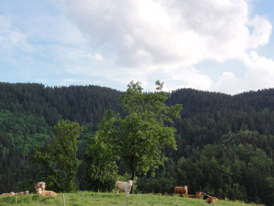 Beauty In Nature Cows Day Forest Green Color Hill Idyllic Landscape Nature No People Non-urban Scene Peasture Sky Tree