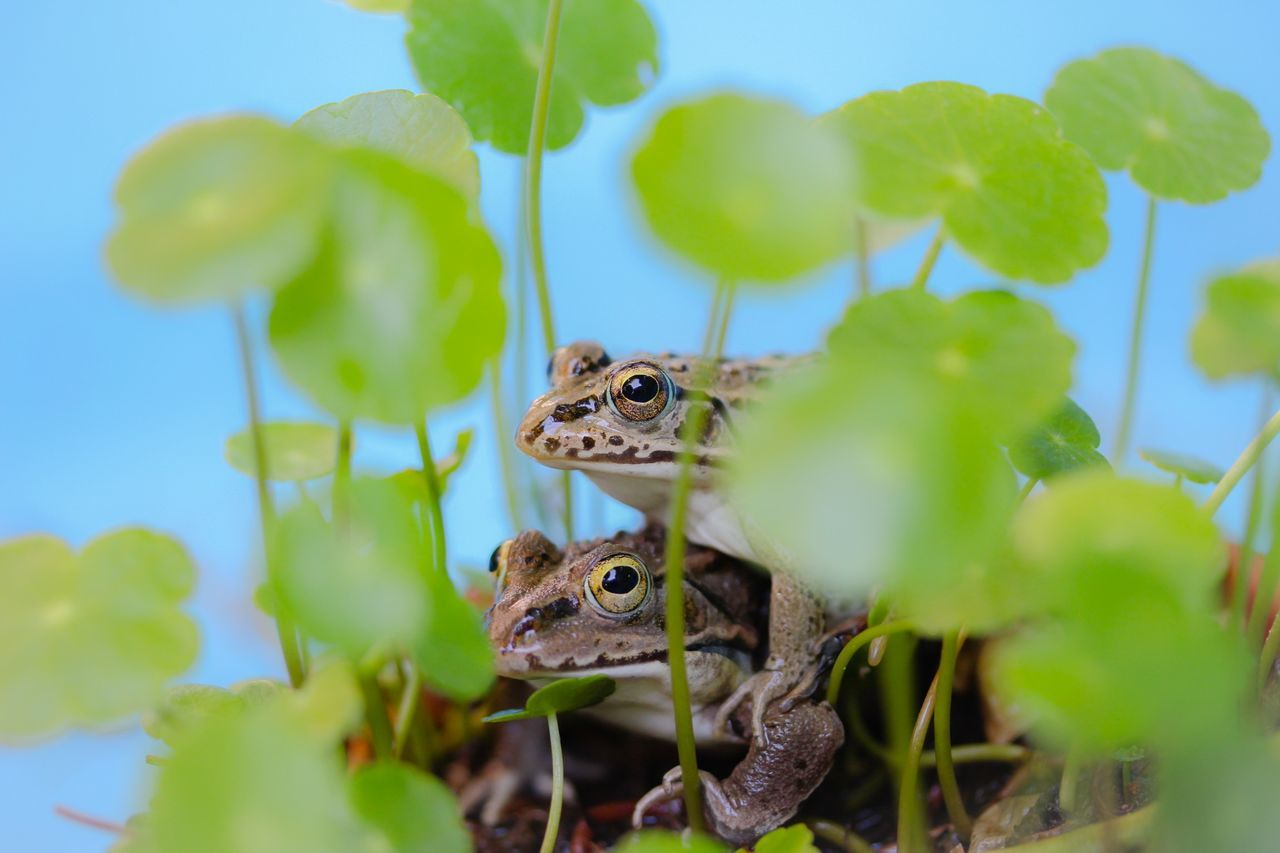 Close-Up Side View Of Frogs Mating