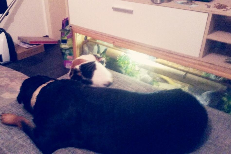 """so zwei brave """"Weiberz"""" ♥♥ Zwei Wie Hund Und Katze ;-) Dogs Life EyeEm Dog Lover Dogs Of EyeEm Cat♡ Cats Of EyeEm Glückskatze Lilli Mit Freya { My Lovely RottWeiler } gemeinsam dösen, wenn ich nicht da bin"""