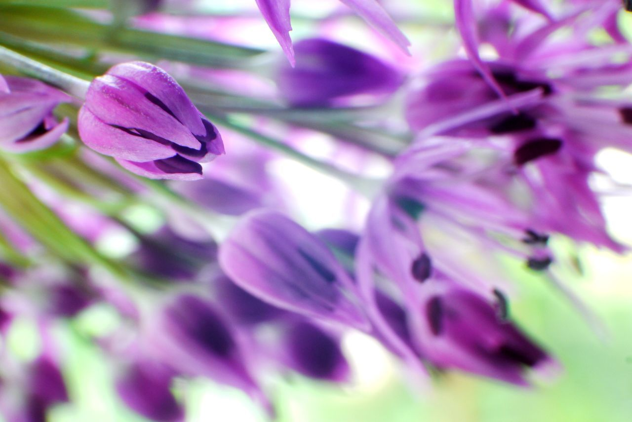 the Allium Cristophii Flower Nature Purple Petal Beauty In Nature Plant Growth Fragility Close-up No People Scented Freshness Flower Head Outdoors Day