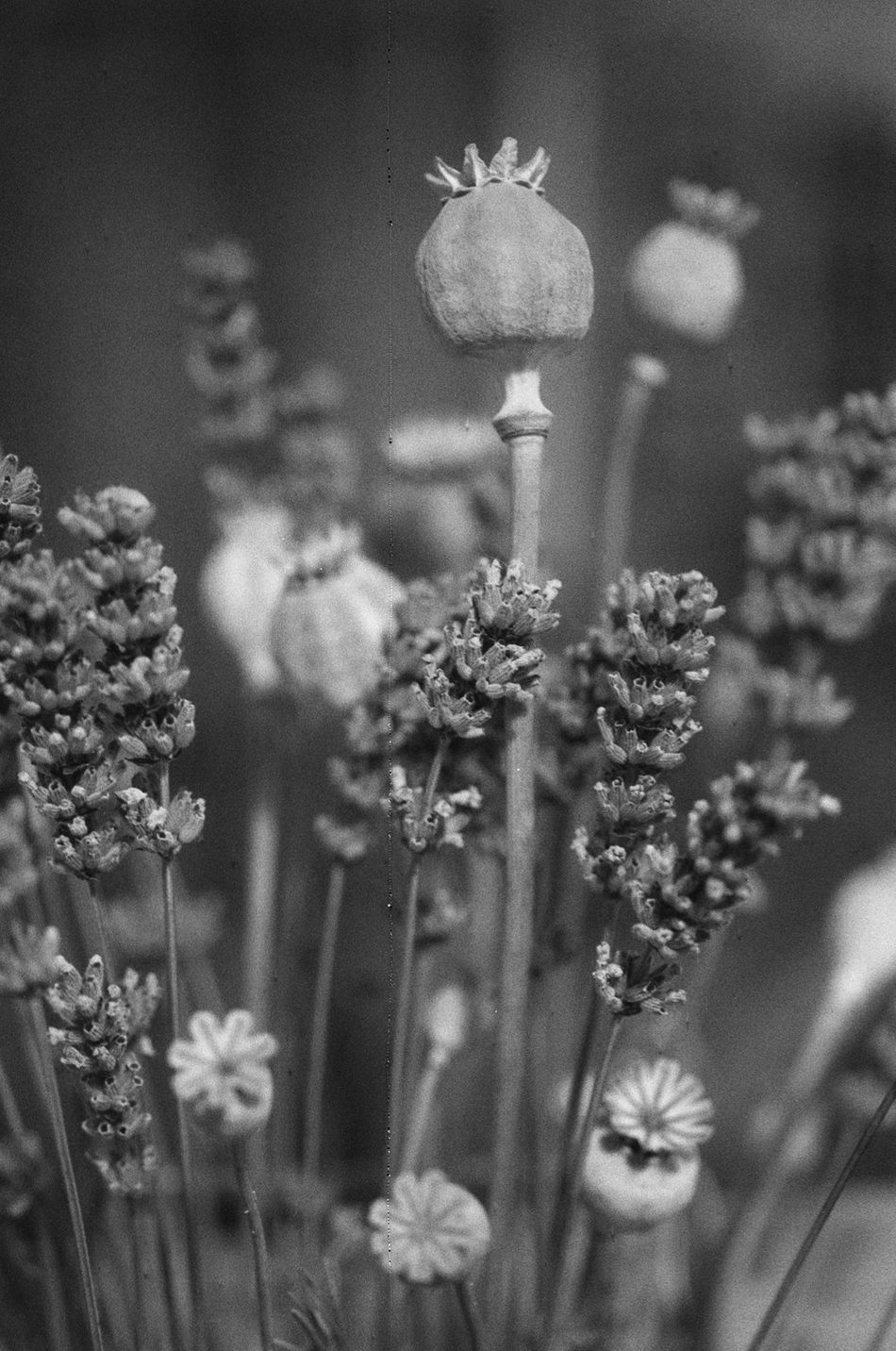Beauty In Nature Black And White Blackandwhite Blackandwhite Photography Canon EOS 500N Film Is Not Dead Film Photography Filmisnotdead Filmphotography Flower Focus On Foreground Fragility Growth Ishootfilm Lucky Film Nature No People Plant