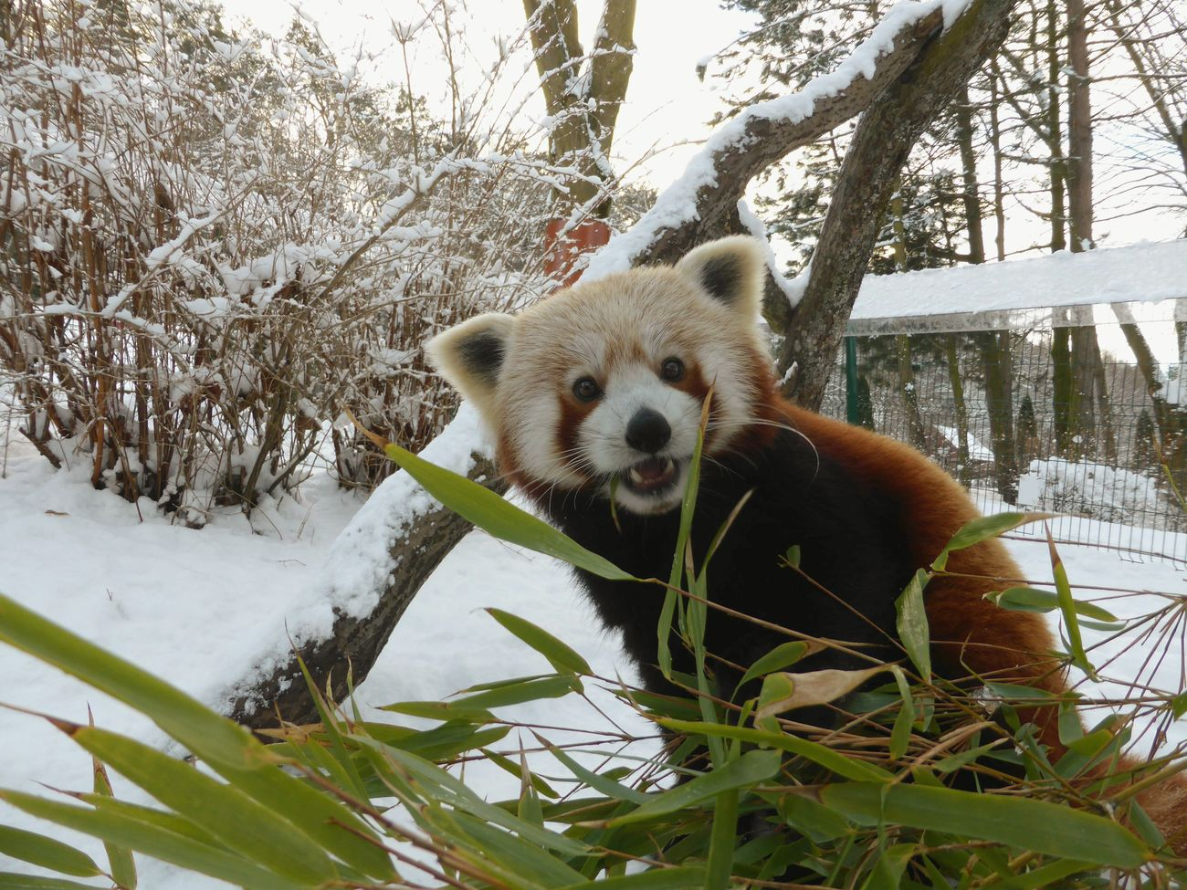 Animals One Animal Animal Photography Animal Portrait No People Zoophotography Zoo Animals  Looking At Camera Snow Bamboo Bamboo Leaves Panda Red Panda