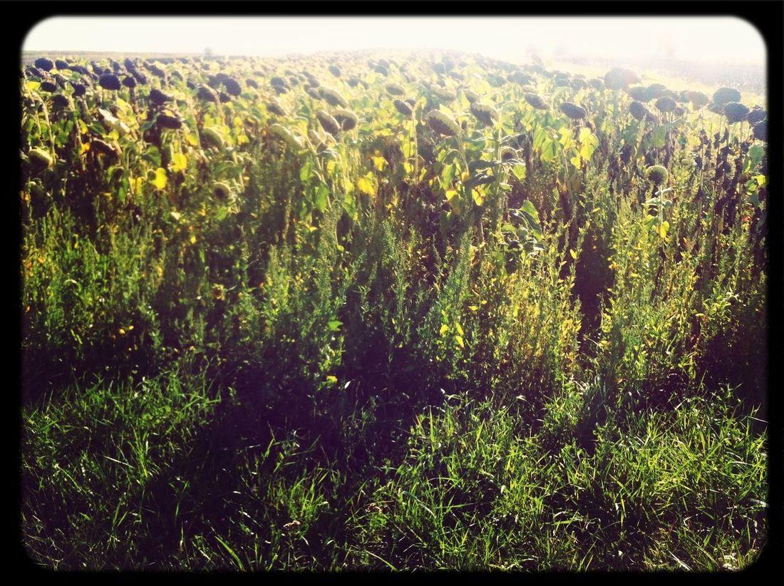 sunflower sutra..