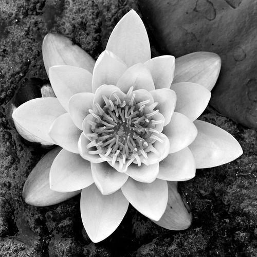 Lotus Flowers Flower Nature Nature_collection EyeEm Nature Lover Blackandwhite Black And White Black & White