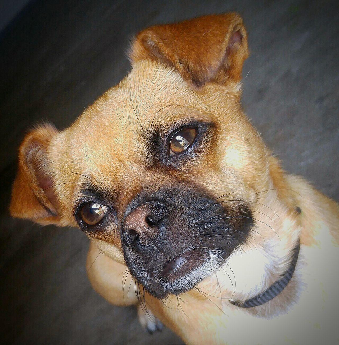 """Yoda"" the Chug Chug Chihuahua Pug Chihuahuamix Pugmix Dog Puppy Pensive DeepThinking Doggie Watchful Seriousface"