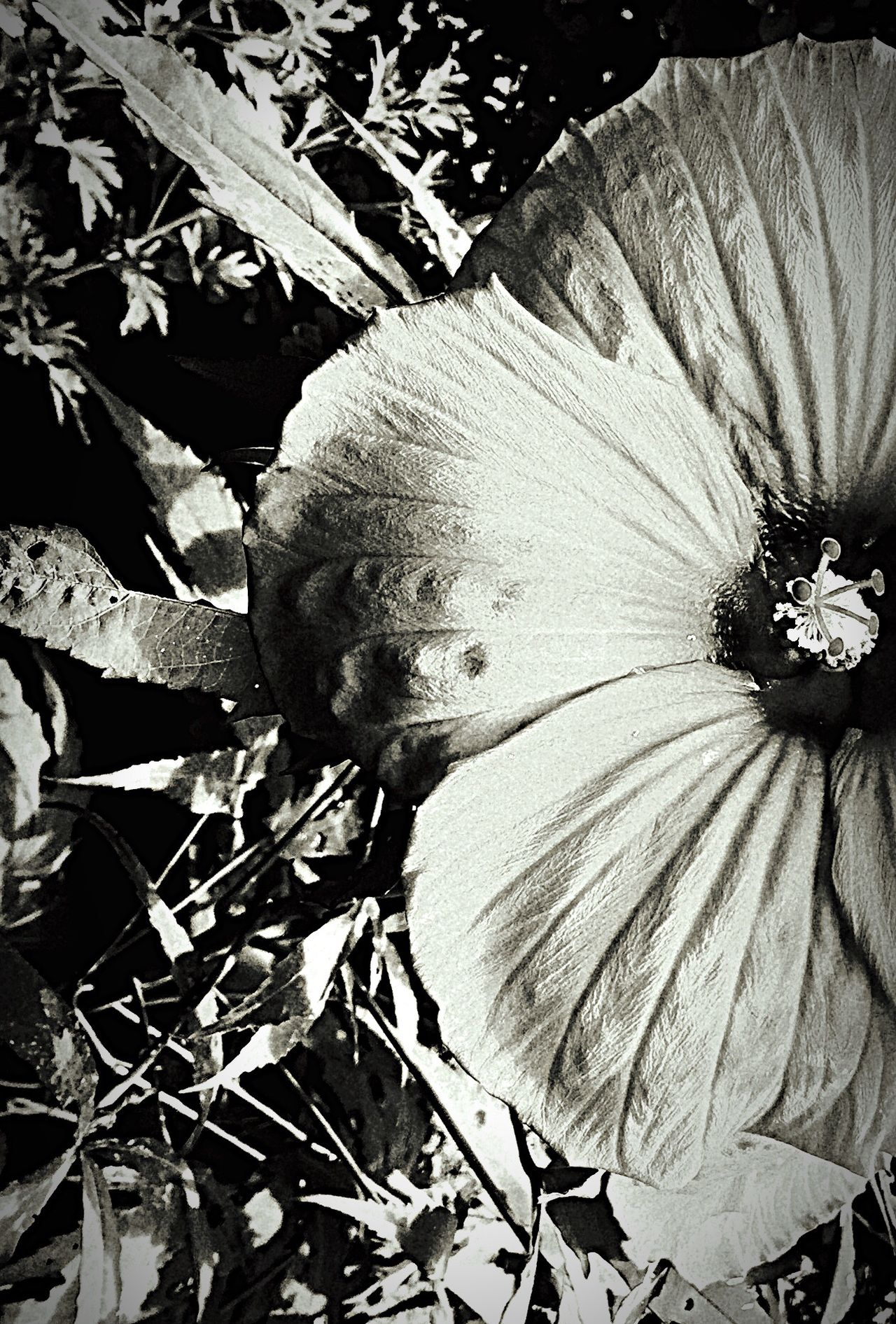 Taking Photos B/W Photography Hot Close-up Dinner Plate Size Hibiscus 🌺 Gargantuan