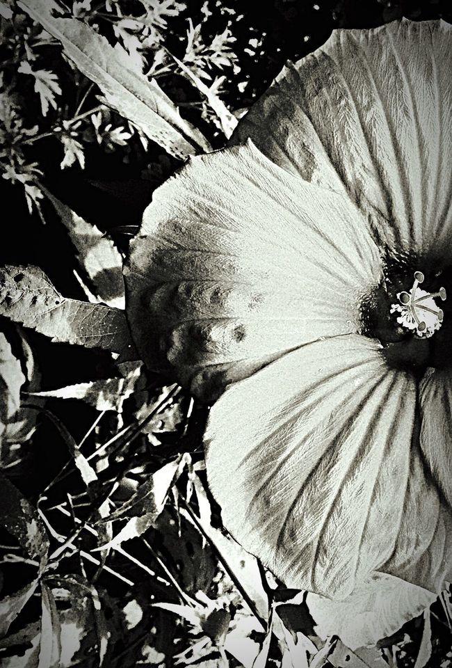Taking Photos B/W Photography Hot Close-up Dinner Plate Size Hibiscus 🌺 Gargantuan