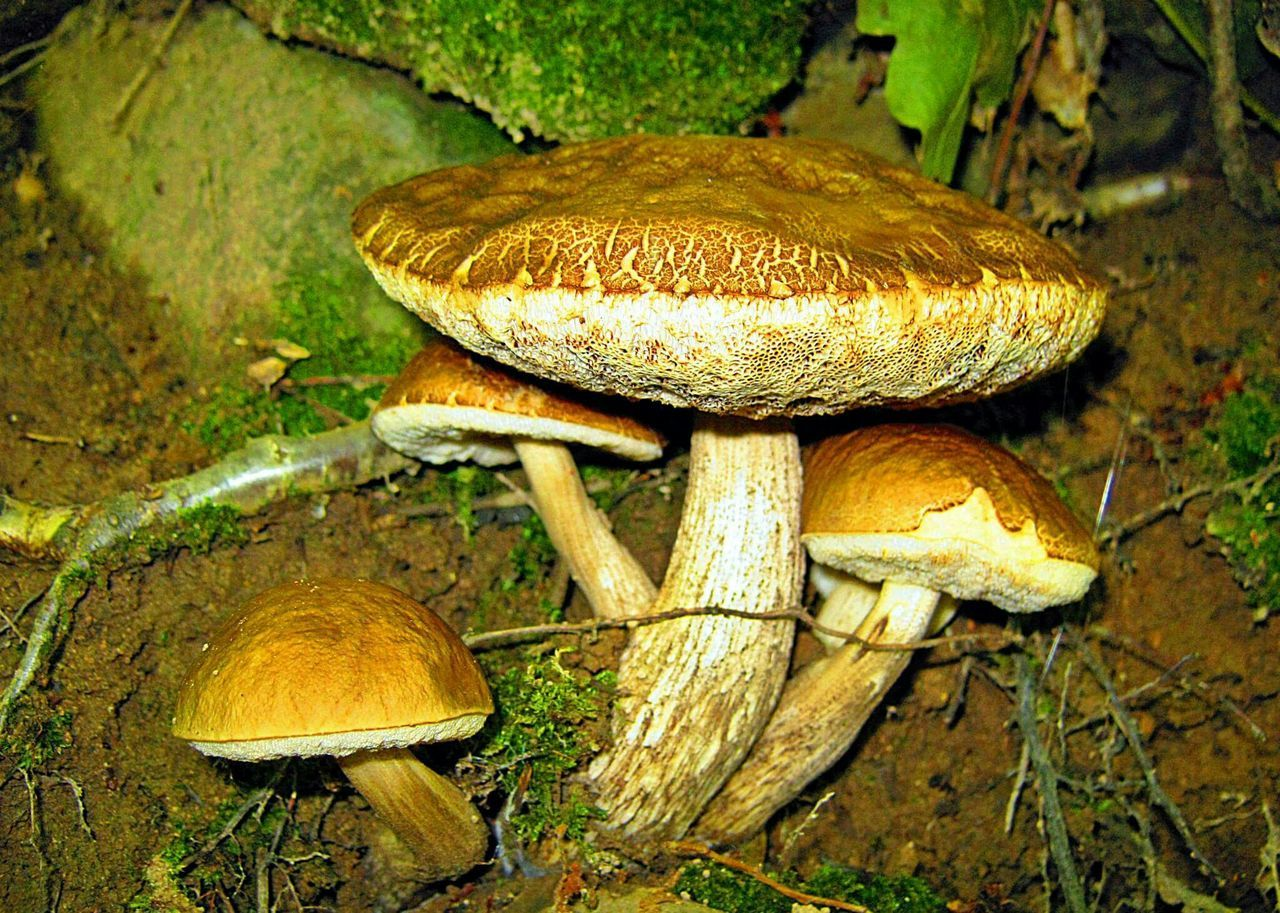 Mushroom Edible Mushroom Vegetable Beauty In Nature Nature гъби Outdoors Mushroom_pictures Mushrooms 🍄🍄 Mushrooms Mushroom Collection Mushroom Hunting Mushrooms Gallery Mushroom Photography Mushrooms Magic.