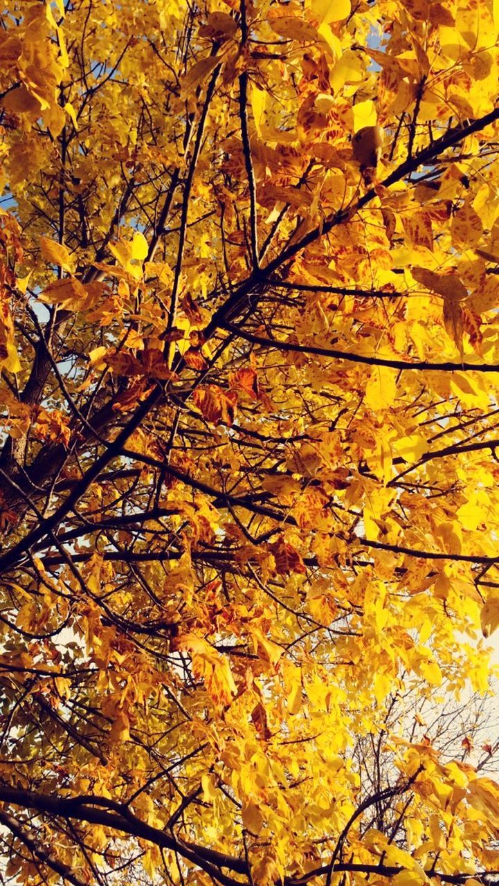autumn, change, tree, leaf, nature, beauty in nature, branch, yellow, maple tree, growth, low angle view, no people, outdoors, maple leaf, tranquility, scenics, backgrounds, day, maple, full frame, fragility, close-up, freshness