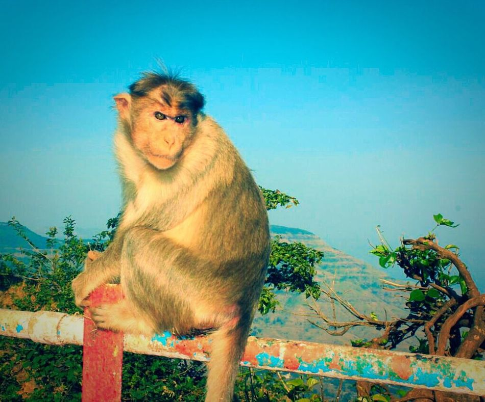 Nature On Your Doorstep Monkey Animal Photography Beautiful Animals  Animal_collection EyeEm Animal Lover Animal Love Monkeying Around Kates Point Mahabaleshwar
