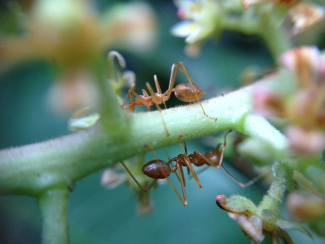 Semut Rangrang di bunga mangga Animal Animal Themes Animals In The Wild Ant Beginnings Botany Close-up Focus On Foreground Fragility Insect Leaf Macro Nature New Life No People Ripe Selective Focus Semut Rangrang Wildlife