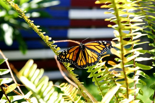 New Monarch Butterfly Drying Wings In Sun Milkweed Butterfly Backyard Photography No People Wildlife Animals In The Wild One Animal Butterfly - Insect Close-up Butterfly Beauty In Nature Nature Growth Fragility Animal Antenna Flower Animal Themes Insect Focus On Foreground American Flag