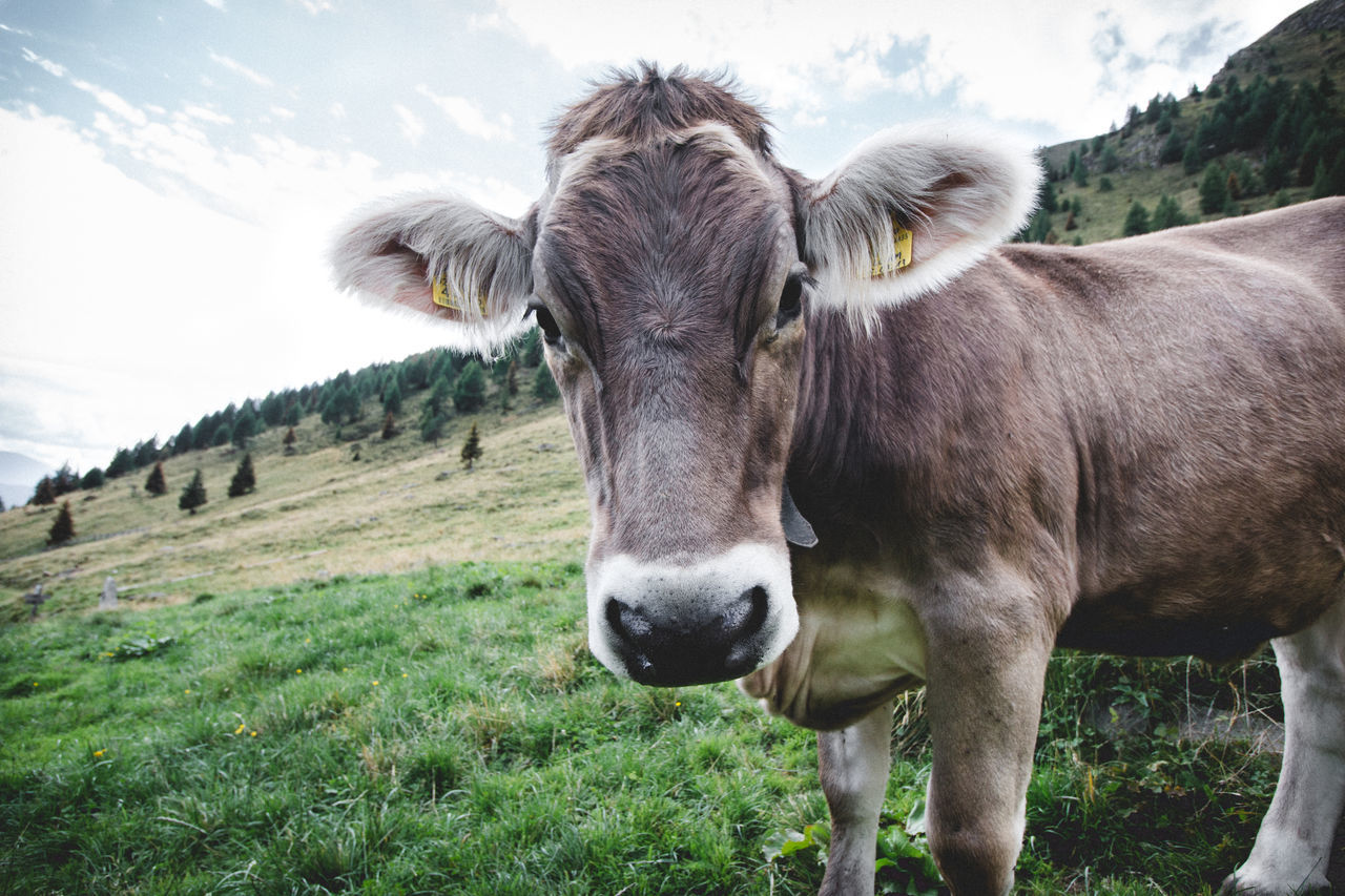 Animal Animal Head  Animal Themes Beauty In Nature Cow Day Domestic Animals Domestic Cattle Field Focus On Foreground Grass Herbivorous Livestock Looking At Camera Mammal Meadow Nature No People One Animal Outdoors Sky Zoology