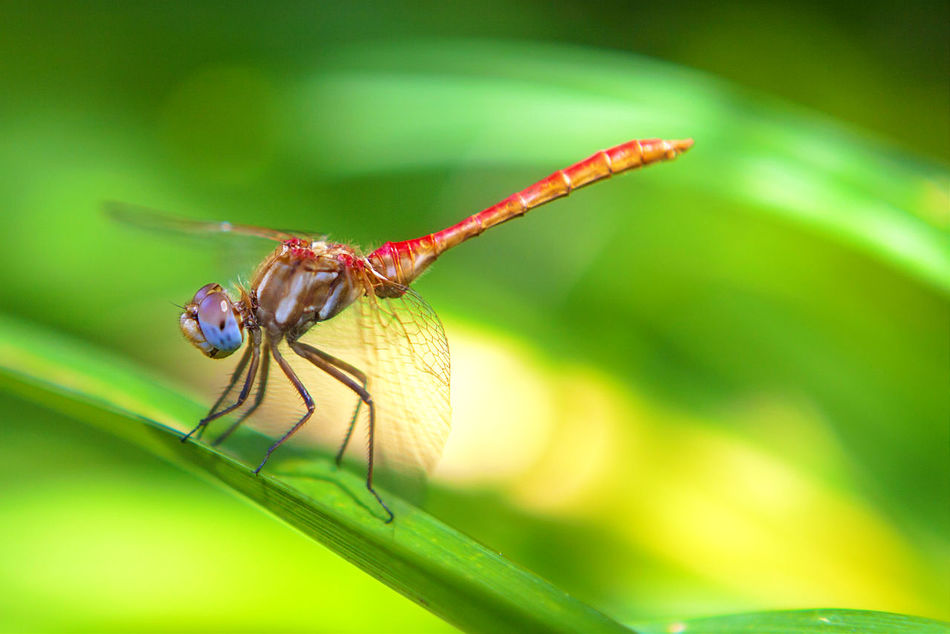 Macro Beauty Dragonfly Dragon Fly Dragonflies Dragonfly_of_the_day Dragonfly Series Damselfly Damselflies Macro_collection Macro Nature Macrophotography Macro Dragonfly The Great Outdoors - 2016 EyeEm Awards Red Dragonfly Macro Insect Photography Damsel Damselfly Series Insect_perfection Insect Photo The OO Mission Fine Art Photography