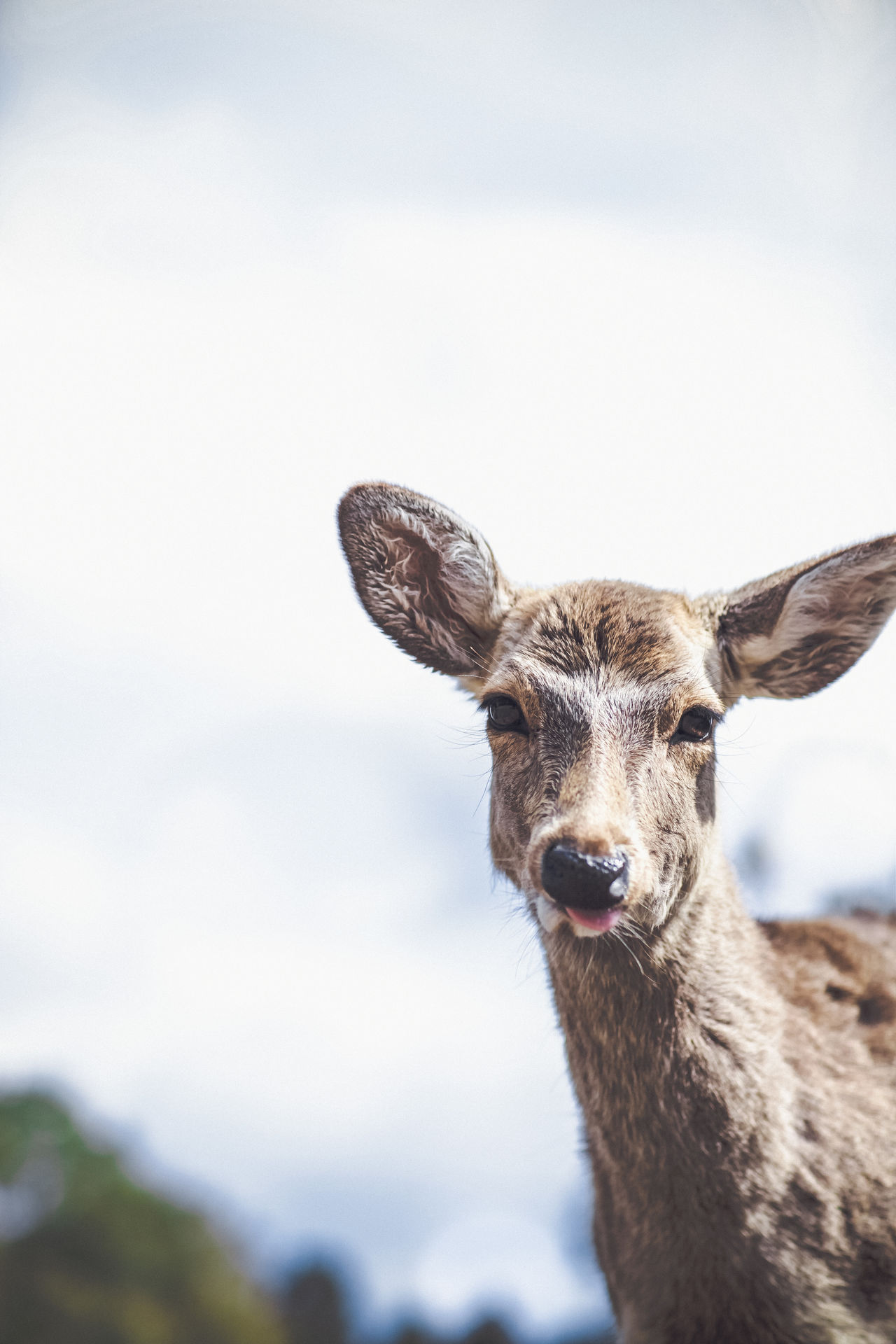 Animal Head  Animal Themes Animal Wildlife Animals In The Wild Close-up Day Deer Focus On Foreground FUNNY ANIMALS Japan Japan Photography Looking At Camera Mammal Nature No People One Animal Outdoors Portrait Sky