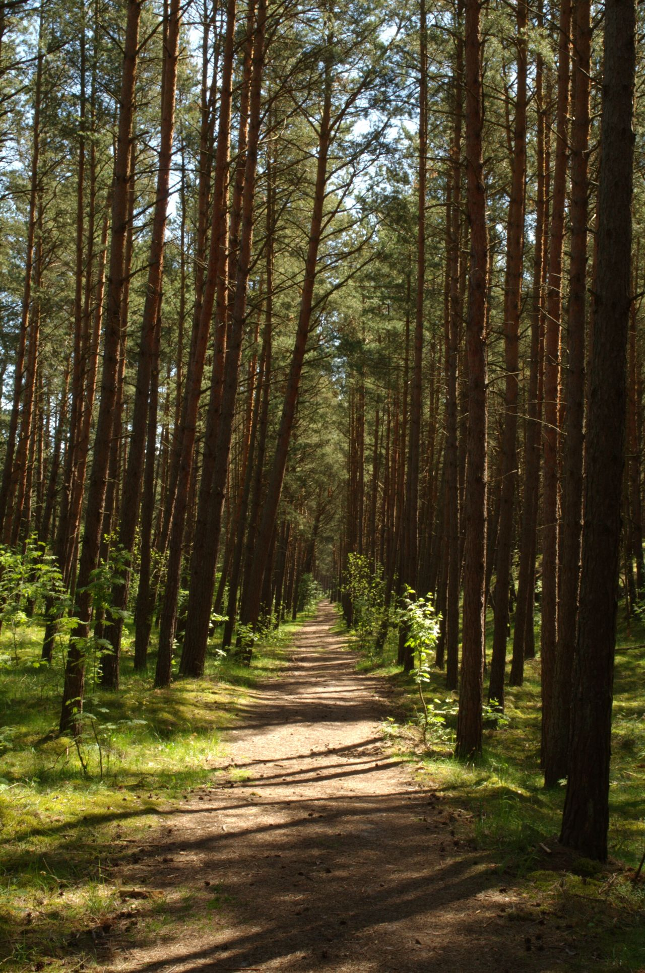Wood Trees Forest Sun In Forest Path In Forest