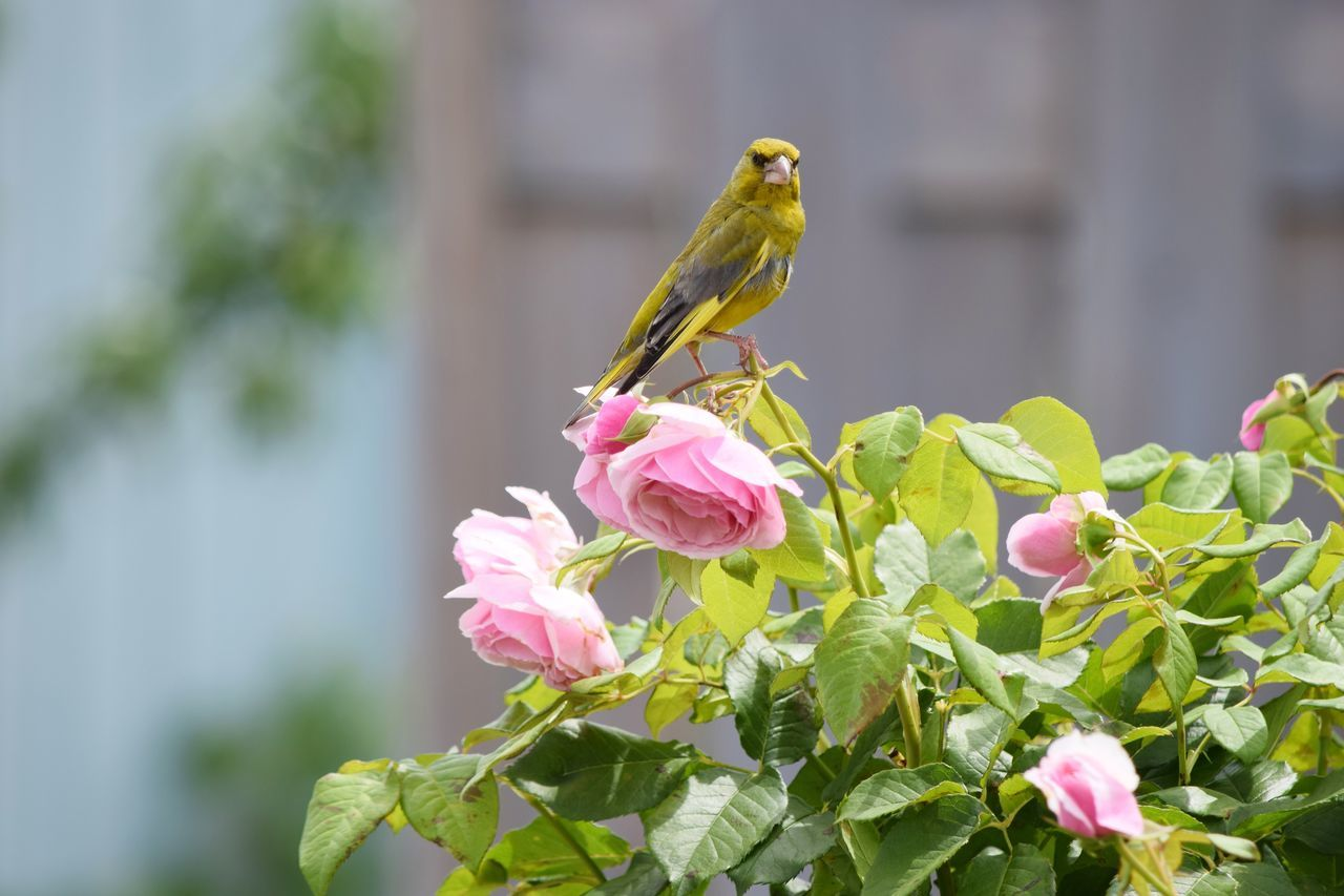 One Animal Flower Animals In The Wild Animal Themes Nature Animal Wildlife Focus On Foreground Perching Grünfink Beauty In Nature Growth Plant Day Bird Outdoors Fragility Petal Pink Color Close-up Leaf Rosenblüte