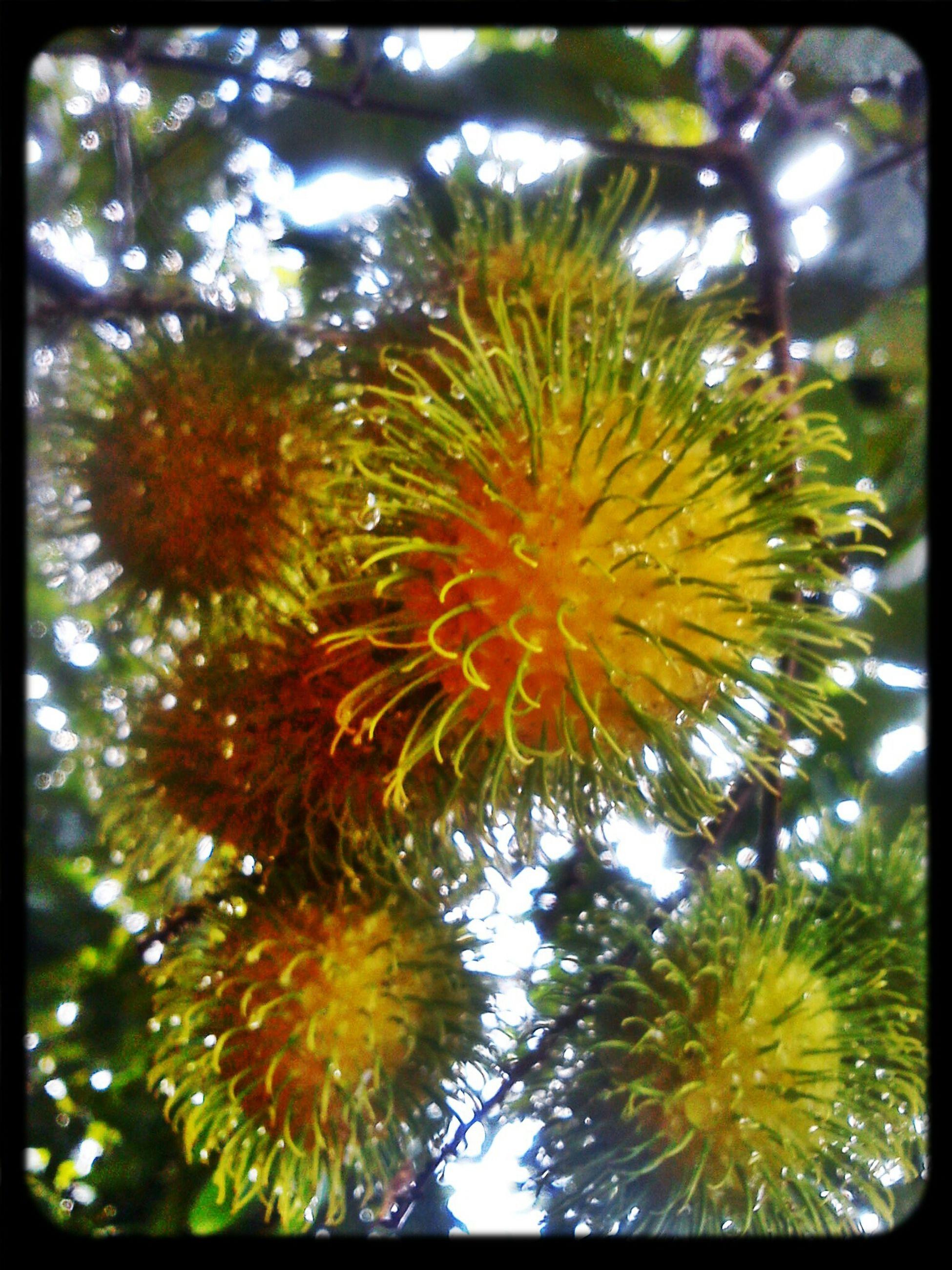 it is rambutan season! Fruits Nature Home Grown Rambutan Malaysia
