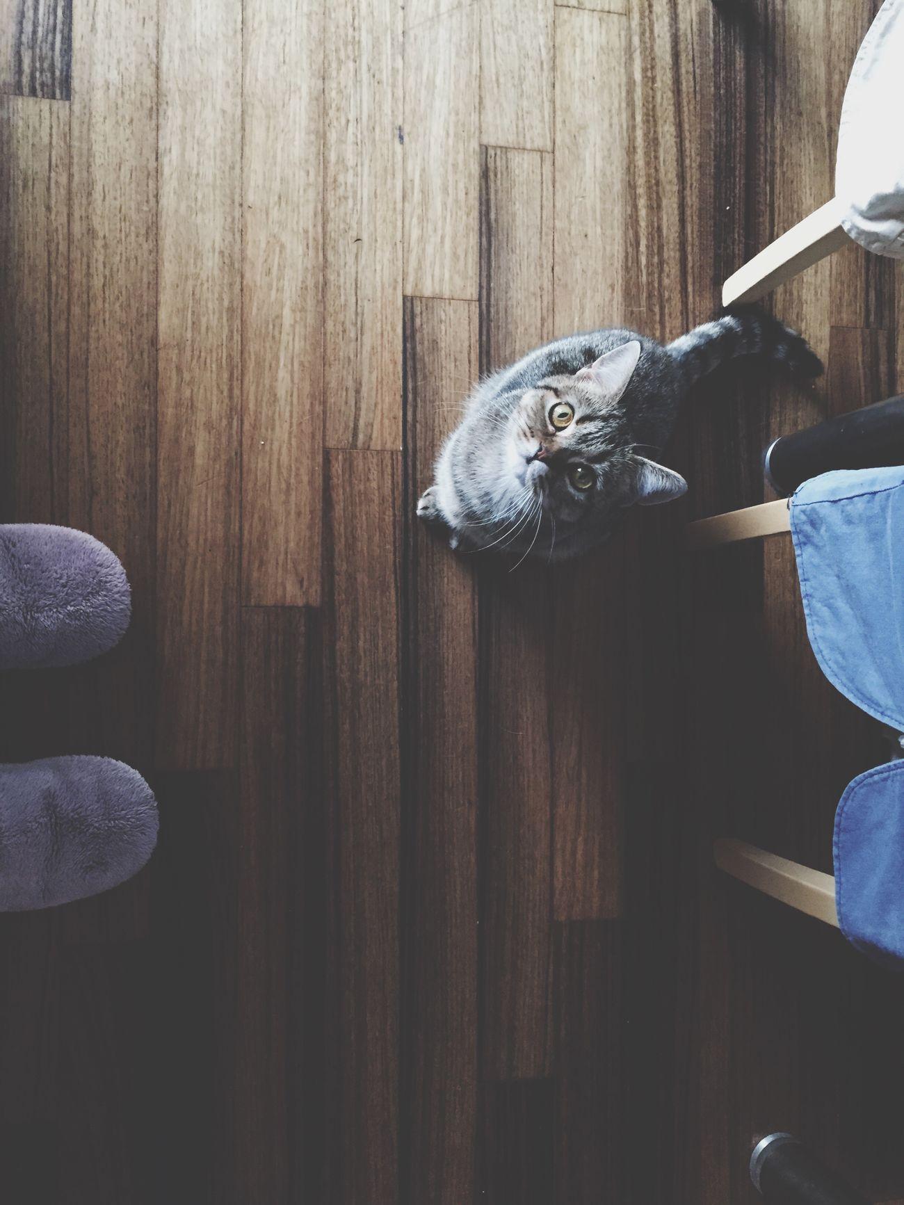 Meow Chơi Cat Gatto