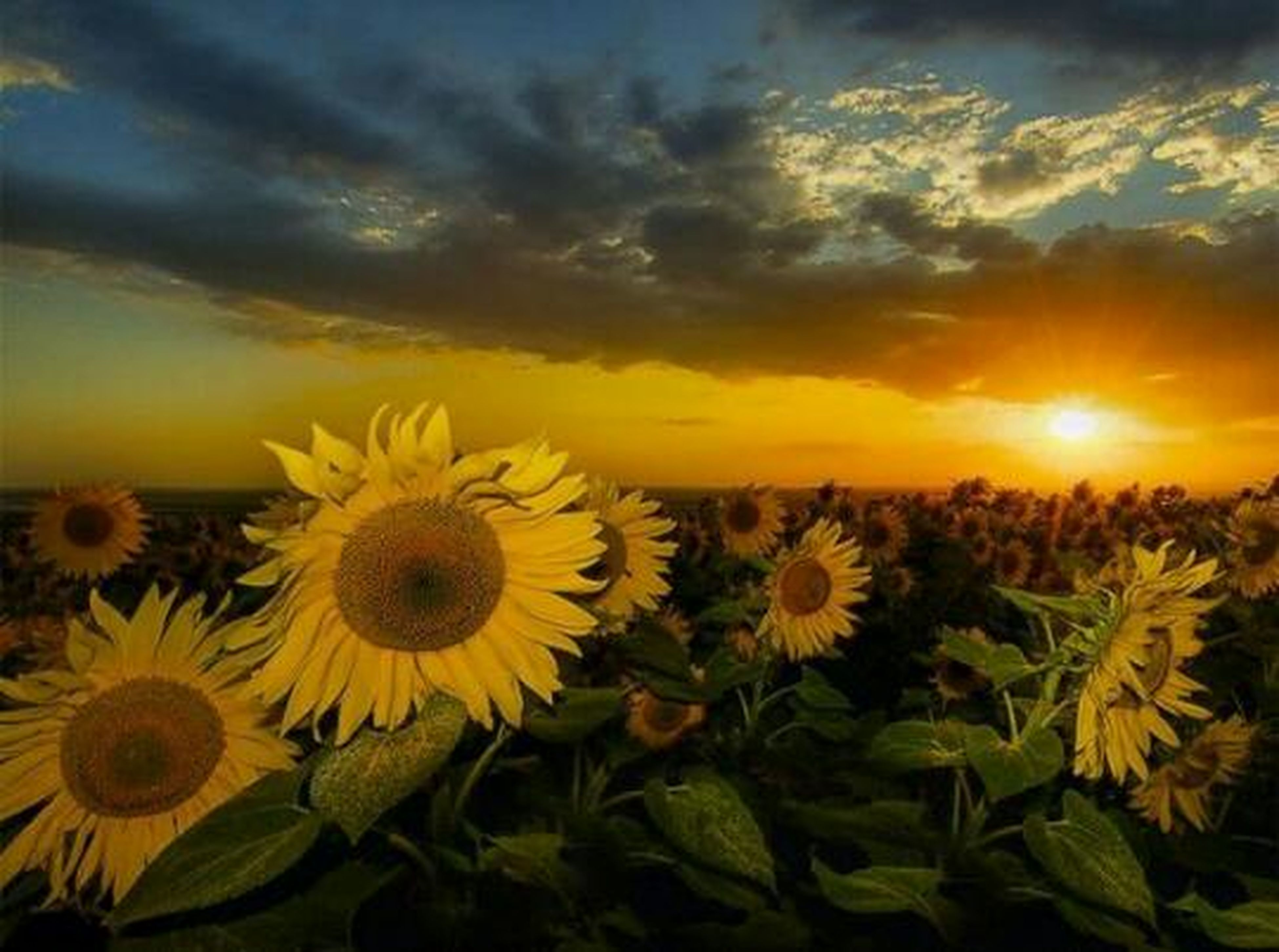 flower, beauty in nature, yellow, sunset, freshness, growth, petal, sky, flower head, nature, fragility, cloud - sky, plant, sunflower, field, blooming, orange color, tranquility, scenics, tranquil scene
