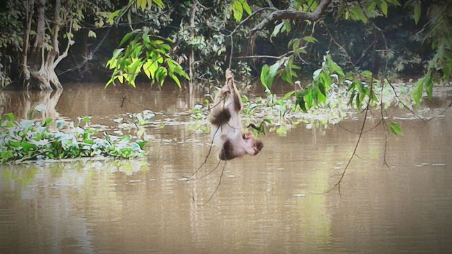 Pig-tailed macaque sighted during river cruise at Menanggul River