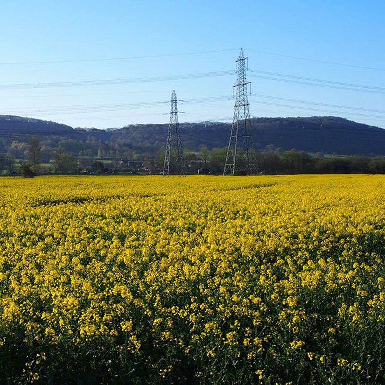 One of the rapeseed fields dotting the countryside around Frodsham. _____________________________________ Rapeseed Yellow Frodsham Pylon Countryside Bluesky Morningsun Morningwalk Walk Olympus Field Farm Hills Cheshire Cheshirelife Landscape