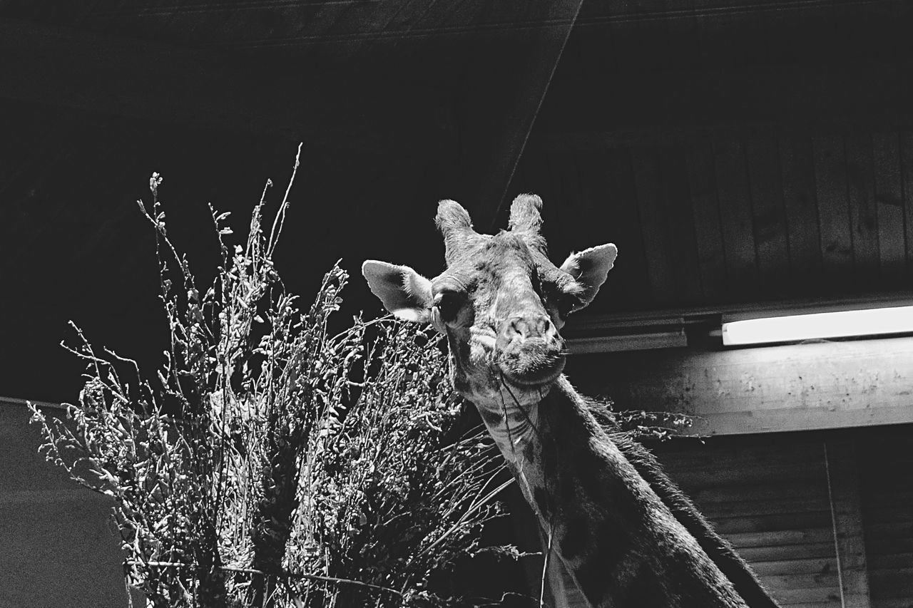 Giraffe No People Animal Themes Close-up Nature Animal Skull Outdoors Day Giraffe Giraffes Giraffe♥ Giraffe ♡ Giraffe Head Nature Animal Photography Animal Head  Animal_collection Animal Portrait Zoo
