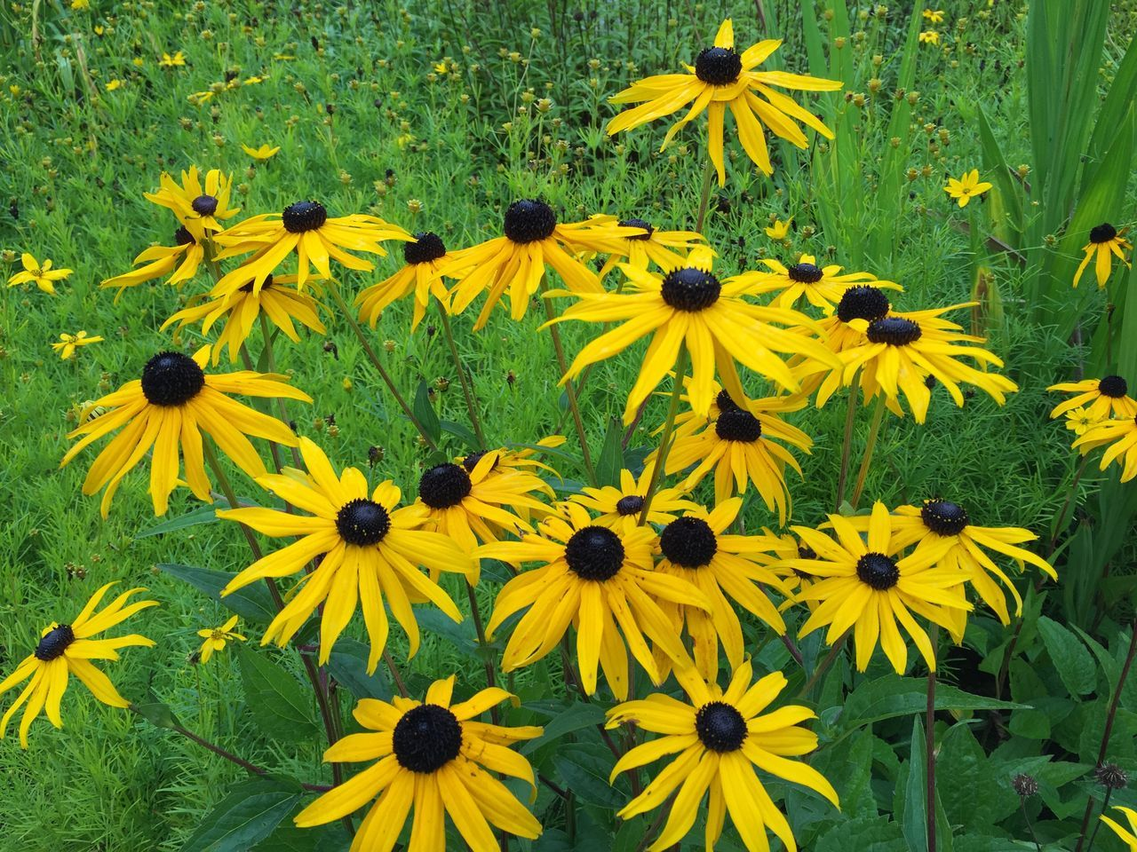 Nature in the city's park under summer Abundance Beauty In Nature Black-eyed Susan Blossom Botany Flower Flower Head Fragility Freshness Growing Growth In Bloom Nature Outdoors Petal Plant Pollen Scenics Springtime Stock Image Summer Tranquility Vibrant Color Yellow Yellow Color