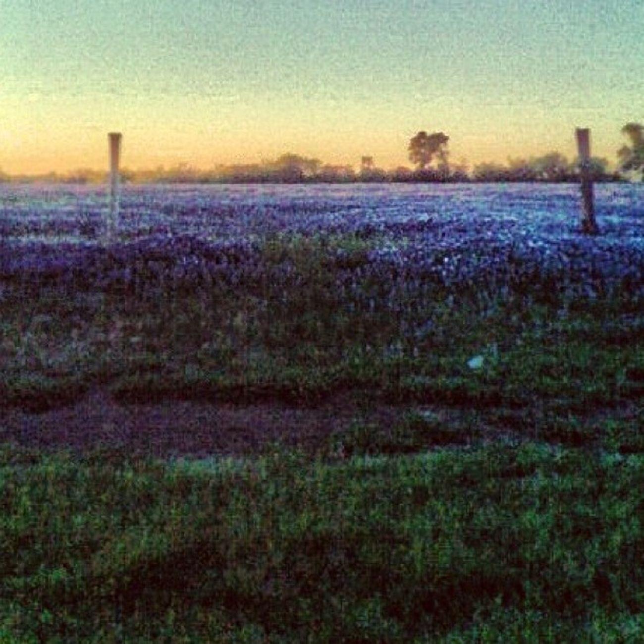 Sea of Blue Bonnets Texas Photooftheday Instagram Igers Jj_forum Teg Bluebonnet Ipone4 Field Purple