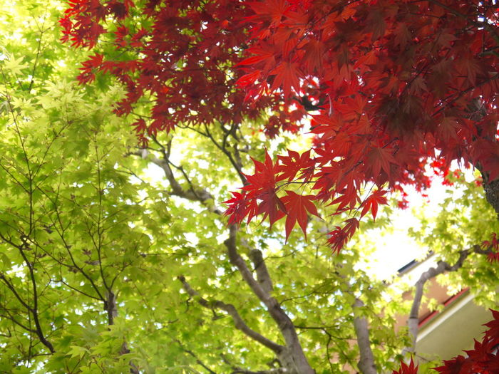 Autumn Beauty In Nature Branch Change Day Foliage Growth Japan Leaf Low Angle View Mitakesan Nature No People Oume City Outdoors Tokyo Tree 御岳山 東京 青梅