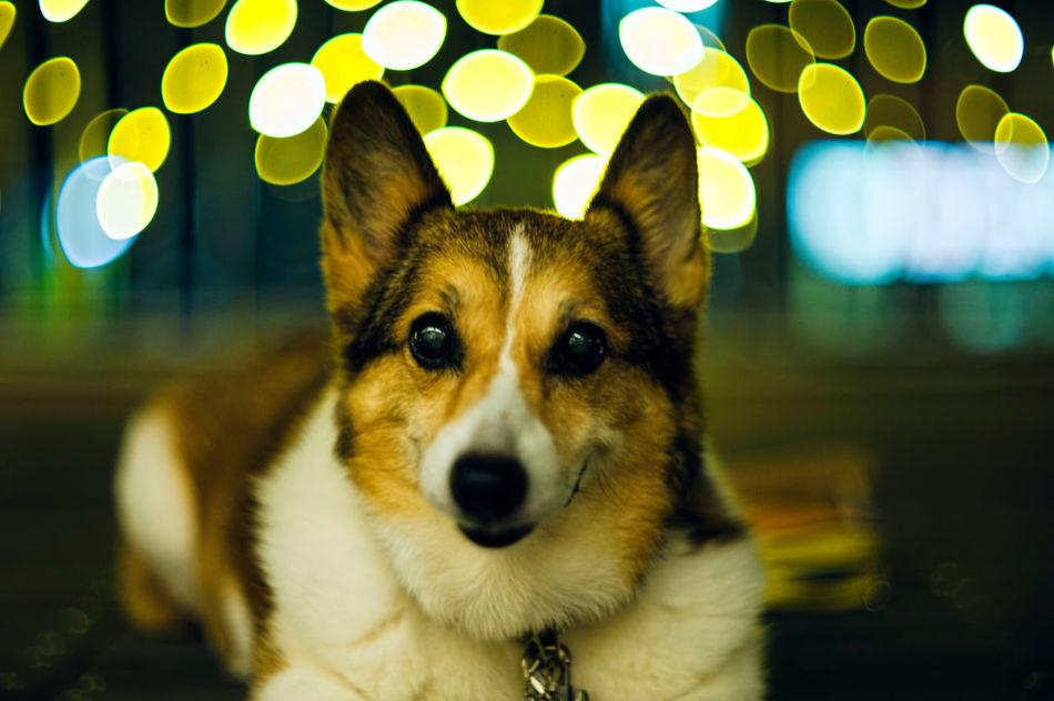 Beautiful stock photos of corgi, Animal Themes, Close-Up, Decoration, Dog