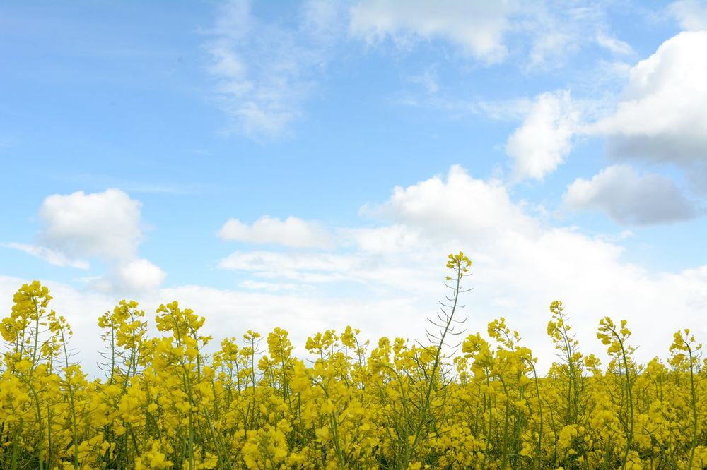 Beauty In Nature Cloud Cloud - Sky Clouds Cloudy EyeEm Best Shots EyeEm Nature Lover Field Flower In Bloom Landscape Nature Nature Diversities Nature_collection RapeFlowers Sky Yellow