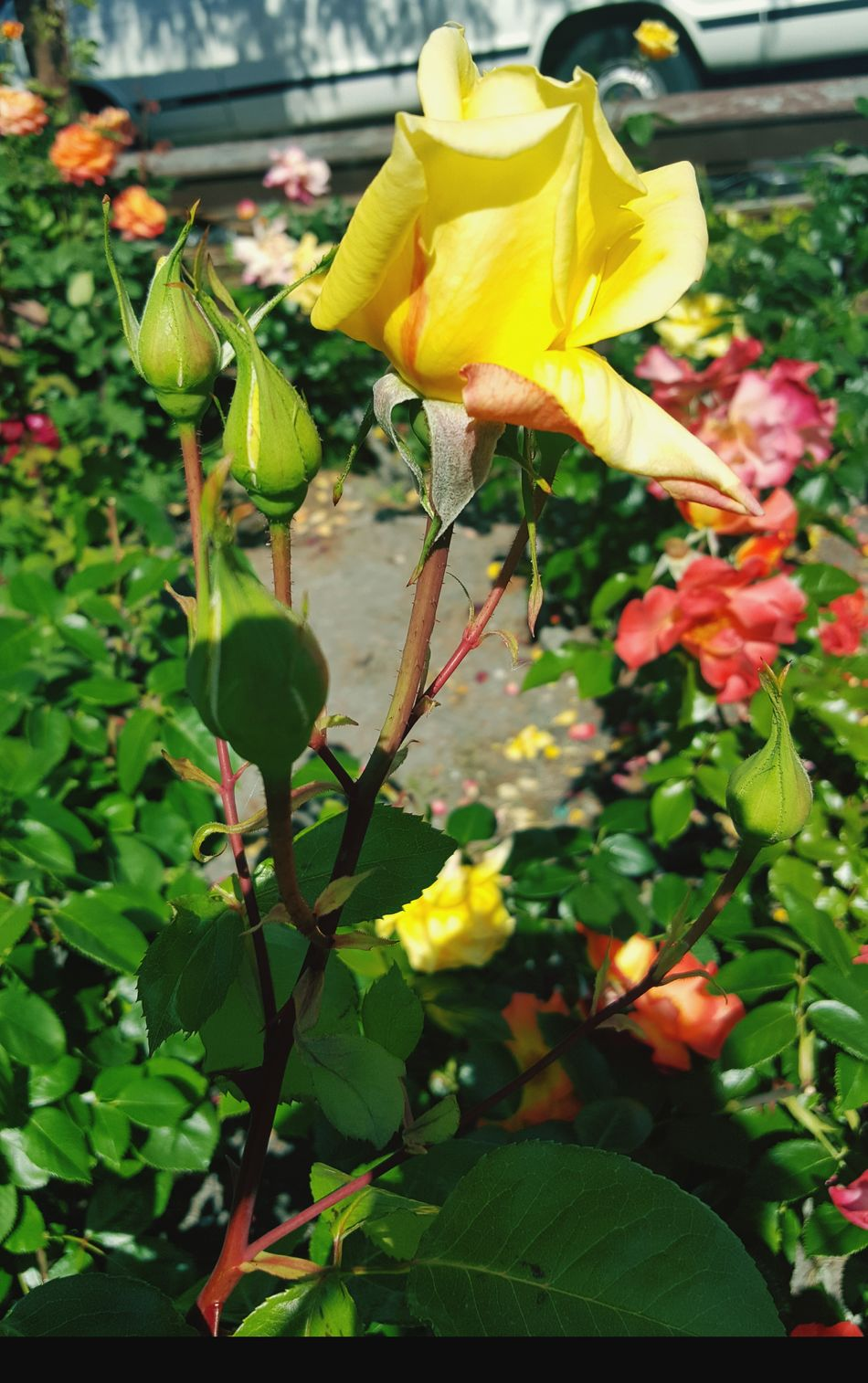Yellow Leaf Flower Growth Outdoors Plant Freshness Fragility Day Nature Beauty In Nature Close-up No People Flower Head Yellow Rose Roses Blooming