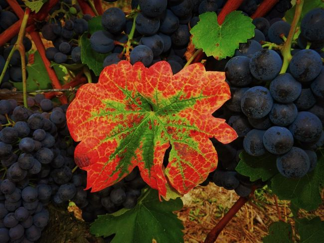 Piemonte, Italy Autumn Beauty In Nature Change Close-up Day Freshness Growth Leaf Multi Colored Nature No People Outdoors Plant Water Winegrapes Wineleafs