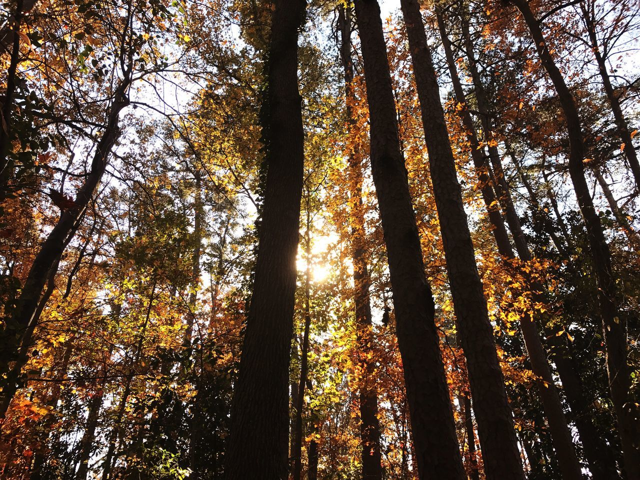 Sun through the autumn leaves. Tree Nature Low Angle View Beauty In Nature Forest Growth No People Scenics Tranquility Tree Trunk Outdoors Branch Day Sky Autumn Colors Colorful