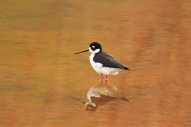 Black Necked Stilt Birds Animals Bird Photography Eye4photography  Fine Art Wildlife Migrating Birds Canon Canon 5d Mark Lll Utah United States EyeEm Best Shots Cute Critters I Hope My Pictures Touch Your Hart Feathered Beauty Water Water Reflections Feathered Friends